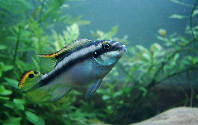 kribensis cichlid swimming in a custom aquarium