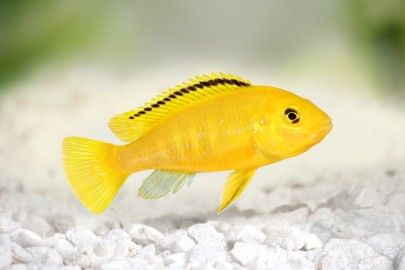 electric yellow cichlid in white stone fish tank