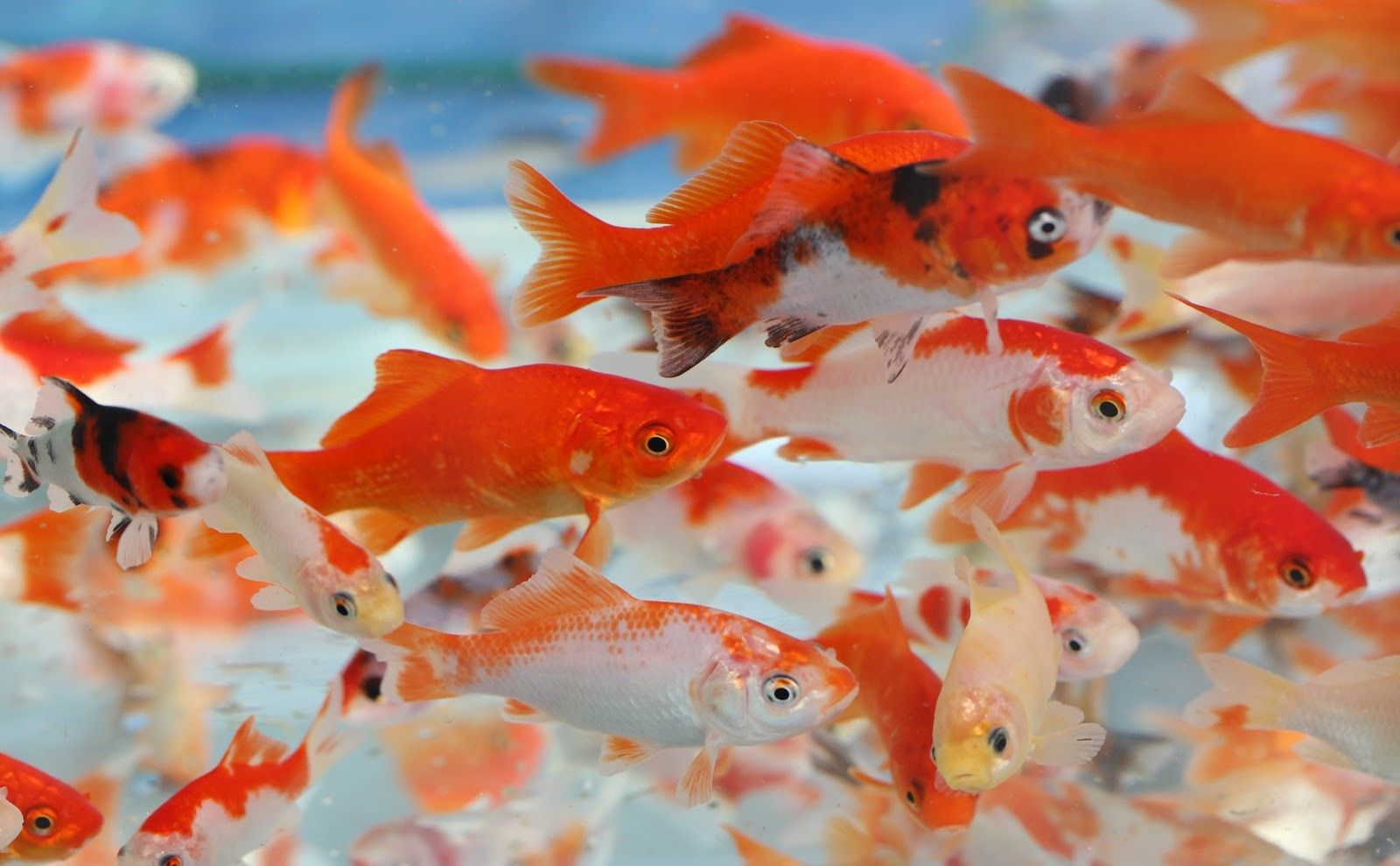 Variety of goldfish swimming together