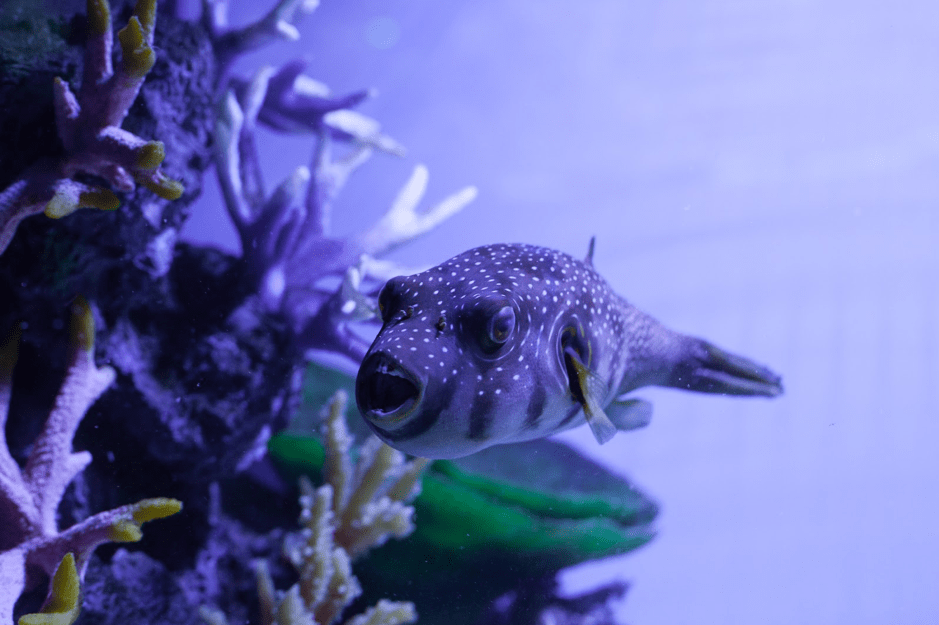 Stars and stripes puffer (Arothron hispidus) compatibility