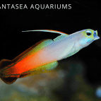 Firefish Goby Care