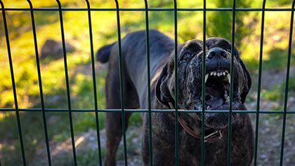 dog aggressively growling at fence