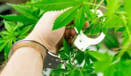 person handcuffed to a marijuana plant