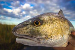 portrait of large fish outside of water