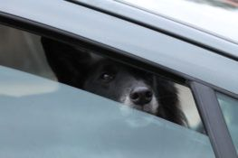 Picture of Dog in Backseat of Car in Texas