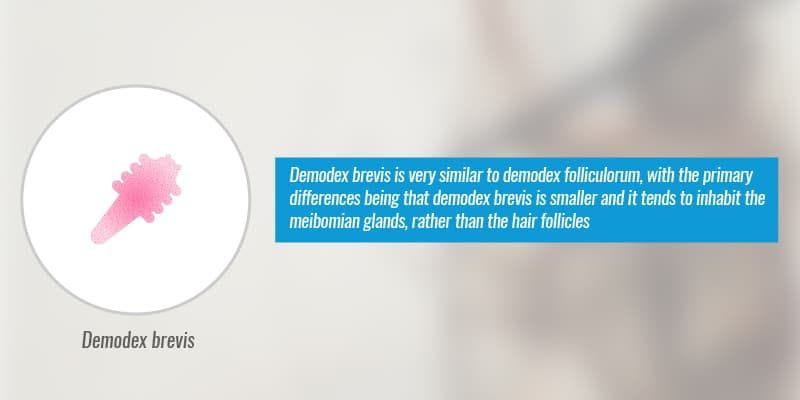 Demodex brevis is very similar to demodex folliculorum, with the primary differences being that demodex brevis is smaller and it tends to inhabit the meibomian glands, rather than the hair follicles