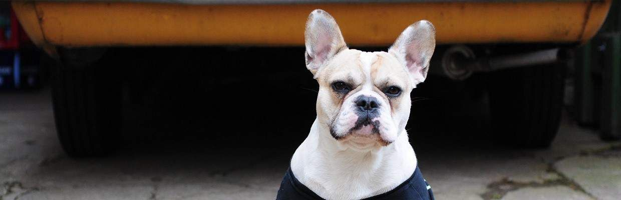 My French Bulldog Is Aggressive – What To Do – Little ...