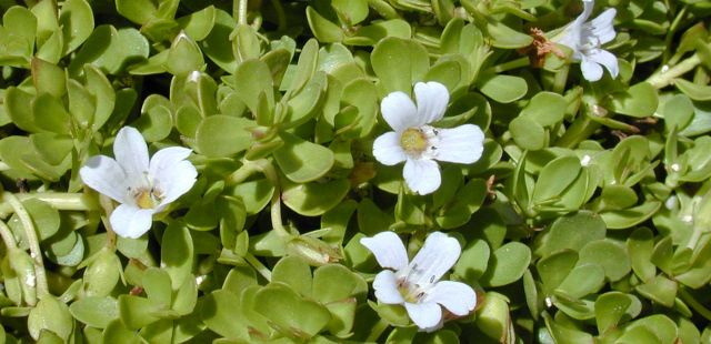 2014-04-10-6-uncommon-superfoods-that-could-help-your-health-status-soar-brahmi