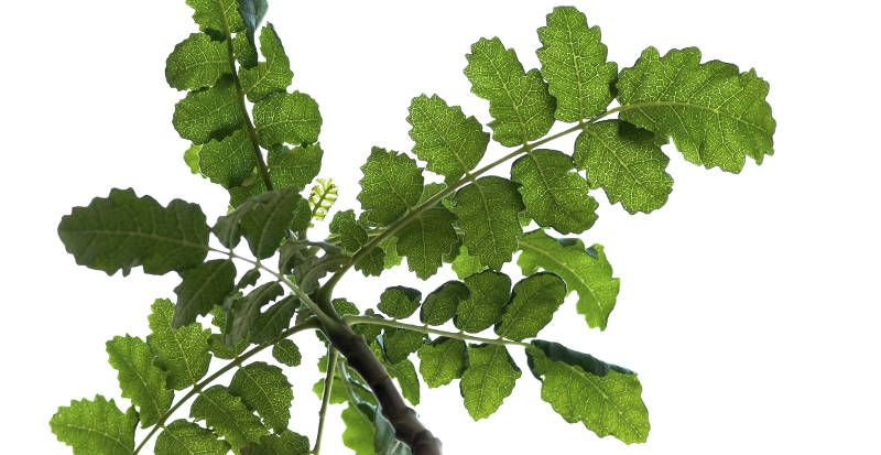 boswellia joint pain