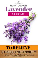 how-to-grow-lavender-at-home-to-relieve-stress