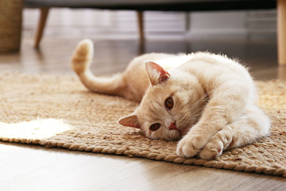 A cat stretches out on the floor, unaware that she's affecting her owner's indoor air quality