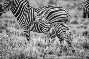 Black and white photograph of baby and adults zebras