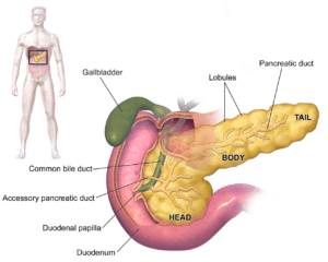 Illusrtation of human pancreas in a man