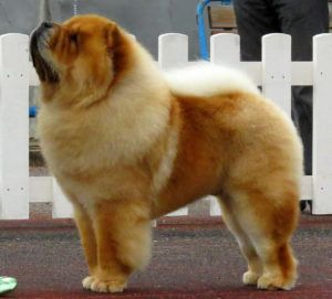 Chow Chow Dog. By Томасина - Own work, CC BY-SA 3.0, https://commons.wikimedia.org/w/index.php?curid=29037517
