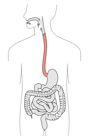 Scheme of digestive tract, with esophagus marked.
