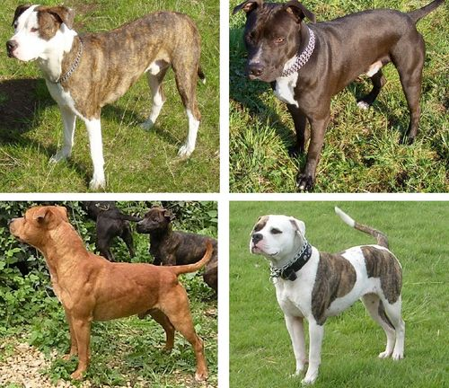 Pit Bull Type Dogs including: American Pit Bull Terrier, American Staffordshire Terrier, American Bully, and Staffordshire Bull Terrier