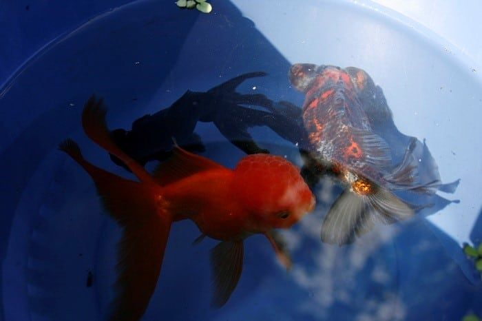 acclimating your freshwater fish to your tank