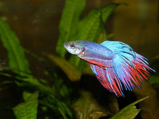 bright blue and red Betta Fish or Siamese Fighting Fish in tank