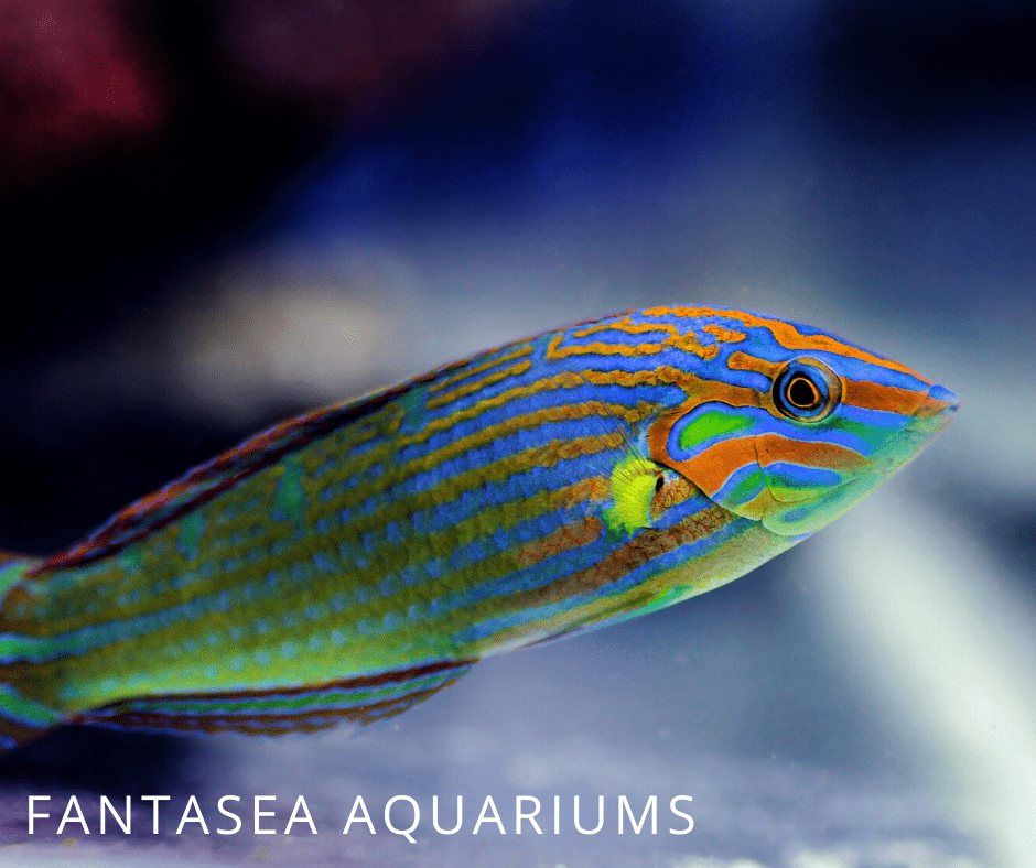 Six line wrasse swimming in tank