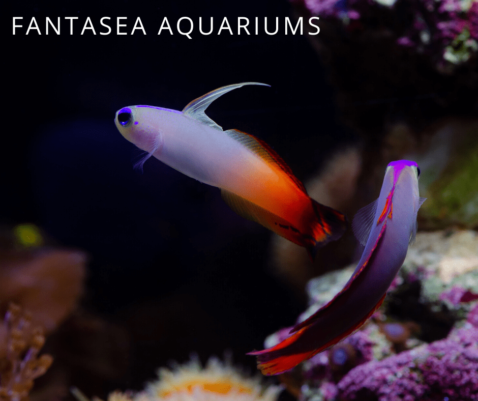 two firefish goby close up in aquarium