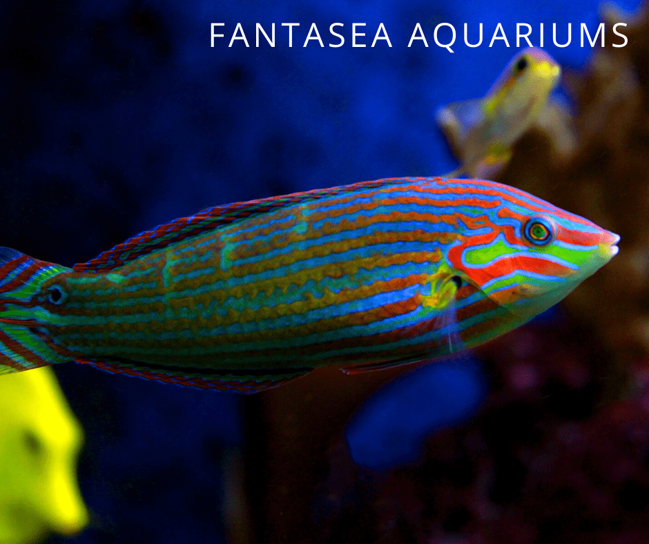 beautiful tail-spot wrasse up close in tank