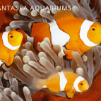 Clownfish Breeding | Raising Clownfish Fry