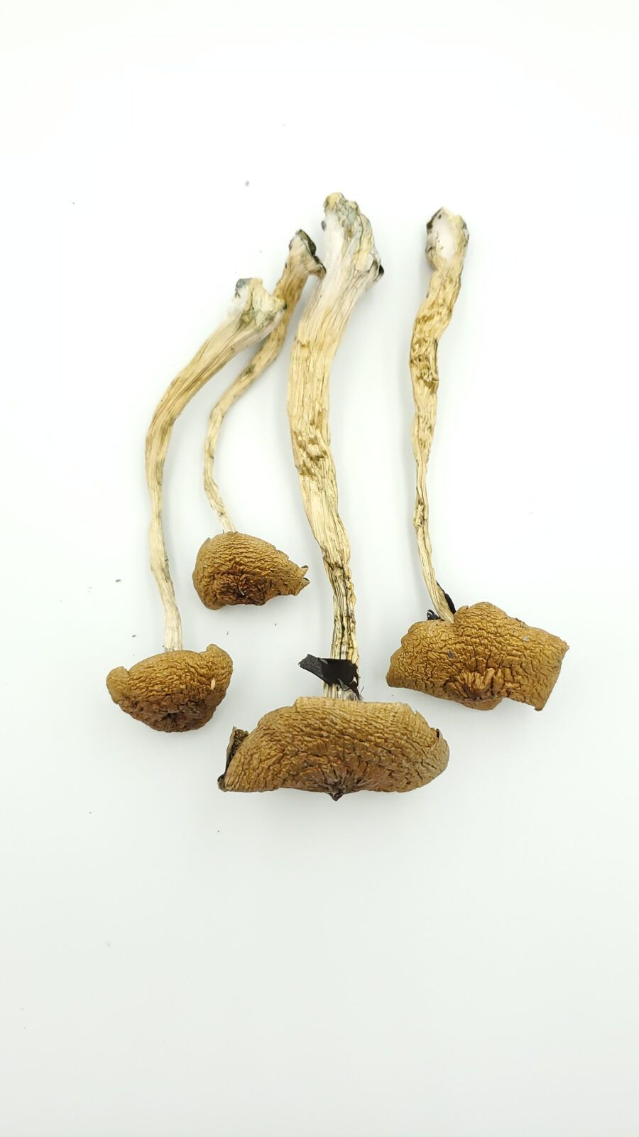 Cambodian Cubensis product picture