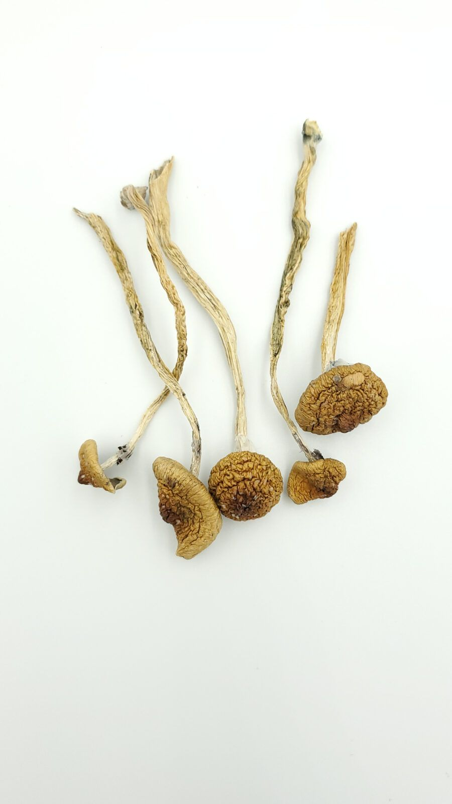 mexican cubensis mushrooms product picture