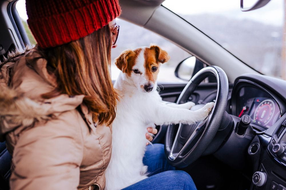 young woman in a car with her cute small jack russell dog